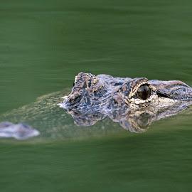 Aligator by Victor Sanchez - Animals Reptiles ( wetlands, texas, reptile, gator, aligator,  )
