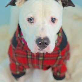 Hank waiting at the shelter... by Martha Pope - Animals - Dogs Portraits ( pittie, shelter, adopt, foster, rescue, pit bull, puppy )