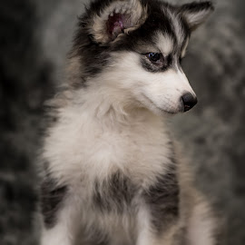 Alaskan Malamute Puppy by Stuart Partridge - Animals - Dogs Puppies
