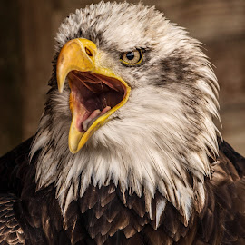 Angry bird by Garry Chisholm - Animals Birds ( bird, eagle, nature, wildlife, prey, raptor, chisholm, garry )