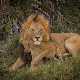 Lion and Cub by Paul Runze - Animals Lions, Tigers & Big Cats ( 2014 botswana, okavango x lion x cub,  )