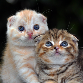 Couple by Cacang Effendi - Animals - Cats Kittens ( cats, cattery, kitten, chandra, animal, #GARYFONGPETS, #SHOWUSYOURPETS )