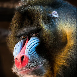 Sir Mandrill !! by Renos Hadjikyriacou - Animals Other Mammals ( animals, mandrill,  )