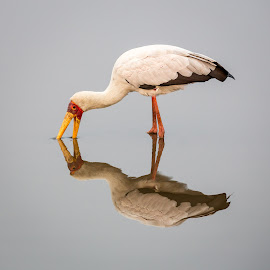Yellow Billed Stork by Craig Main - Animals Birds ( sunset dam, 2014, kruger, lower sabie,  )