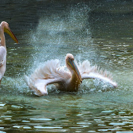 It is shower time by Morhaf Aljanee - Animals Birds
