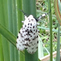 Giant Leopard Moth  or Eyed Tiger Moth