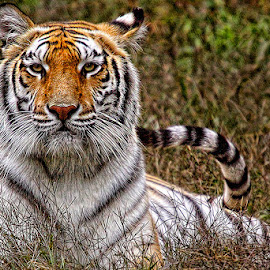 Watchful Tiger by John Larson - Animals Lions, Tigers & Big Cats