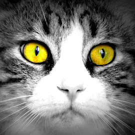 by Keesha Phillips - Animals - Cats Portraits ( selective color, pwc )