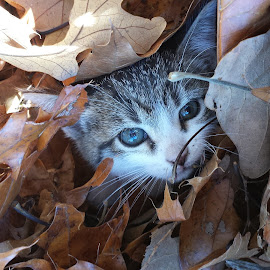hiding by Ey Candy - Animals - Cats Playing ( kitten, cat, autumn, fall, leaves )