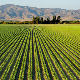 Lettuce by Richard Duerksen - Landscapes Prairies, Meadows & Fields ( lechuga, lettuce, california, gonzales ca )