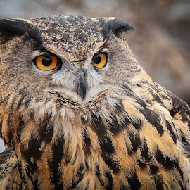 Eurasian Eagle-Owl by Ron Meyers - Animals Birds