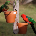 King Parrot (Female and Male)
