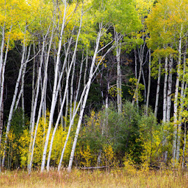 Aspen Hideout by Richard Duerksen - Nature Up Close Trees & Bushes ( id, gold leaves, aspen, red rock lakes )