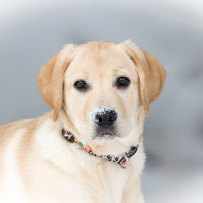 Little Mia by Beaver Tripp - Animals - Dogs Portraits ( snow, puppy, lab )