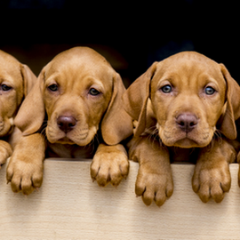 Puppy Power by Gordon Bishop - Animals - Dogs Puppies ( looking, puppies, dogs, hungarian vizsla, brown, puppy, vizsla, cute, dog, young, wall, #GARYFONGPETS, #SHOWUSYOURPETS,  )