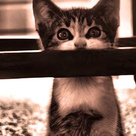 by Barry Van de Laar - Animals - Cats Kittens ( cats, kitten, cat, animals, black and white )