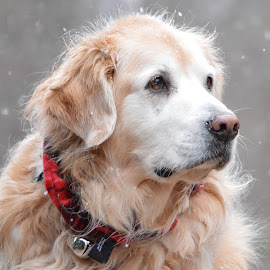Merry Christmas from Squirt by John Clark - Animals - Dogs Portraits ( #goldenretriever )