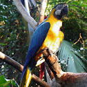Blue and yellow macaw (Guacamayo azul y amarillo)