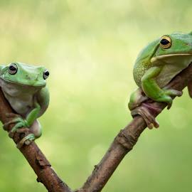 Berdua by Kurito Afsheen - Animals Amphibians ( tree frog, amphibian )