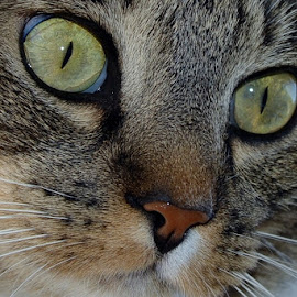 Sallie by Lorin Hohl - Animals - Cats Portraits ( mouse, tiger, whiskers, frisky, playful cat, nose, close-up, eyes )