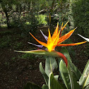 Crane Flower / Bird of Paradise