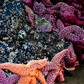 Starfish Line Dance by Beverly McGowan - Nature Up Close Other Natural Objects ( oregon, haystack rock, starfish, ocean, crustacians )