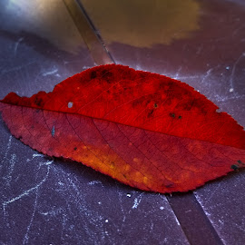 cherry leaf by Emina Dedić - Instagram & Mobile Other ( radiant, autumn leaves, fall colors, autumn colours, fall leaf, cherry, fall leaves, red leaf, red, autumn, red colour, fall, cherry leaf, radiance )