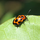Nine Spotted Leaf Beetle