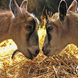 Face to Face by Luanne Bullard Everden - Animals Other Mammals ( goats, mammals, animals, hay, barns )