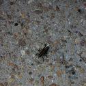 Lubber grasshopper  Romalea guttata