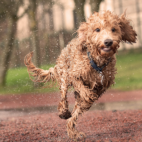 Action  by Michael  M Sweeney - Animals - Dogs Running ( labradoodle, play, michael m sweeney, dog, nikon, running )