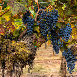 Old Vines by Lee Jorgensen - Food & Drink Alcohol & Drinks ( wine, vineyard, grapes, vine, napa )
