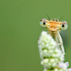 White-legged Damselfly