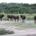 Ankole-Watusi (cattle)