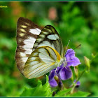 Striped Albatross Butterfly (Female)