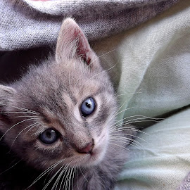 Blue Innocence by Seraphinnw Saqqara - Animals - Cats Kittens ( cat, kitten, grey kitten, big eyes, cute kitten, innocent, cute cat, blue eyes cat, beautiful eyes, blue eyed cat, blue eyes kitten, cats, grey cat, cat portrait, innocence, blue eyes, kittens, kitty )