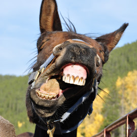 Mad Mule by Mindy Kissner - Animals Horses (  )