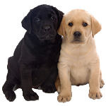 Puppy Live Wallpaper 1.3 Apk