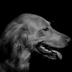 Beau Profile by Gary Enloe - Animals - Dogs Portraits ( pet, fur, paws, dog )