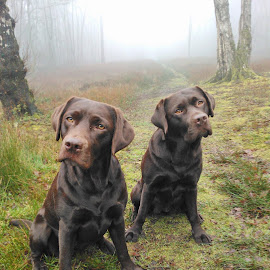 Happy and Brogan, Chocolate Labradors at leith Hill, Surrey by Jeremy Adams - Animals Other