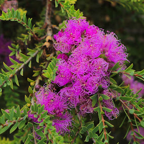 purple  by Jason Day - Nature Up Close Trees & Bushes