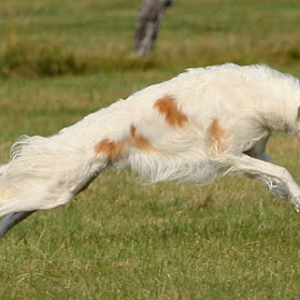 Pure Power by Karin Bennett - Animals - Dogs Running ( dogs., running, borzoi )