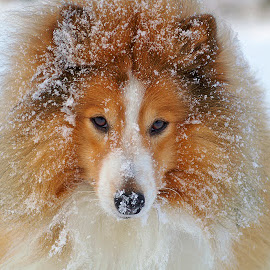 Winter by Allan Wallberg - Animals - Dogs Portraits ( cool, winter, snow, shetland sheepdog, beautiful, snowflakes, dog portrait, dog, sheltie, portrait, animal snow  )