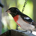 Rose Breasted Grosbeak