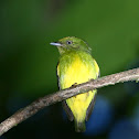 Golden crowned Manakin