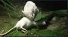 Gambar preview Tikus Putih yg menolong Temannya dari mangsa ular