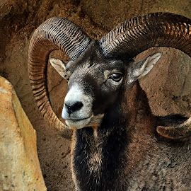 Big horn by Dikky Oesin - Animals Other Mammals