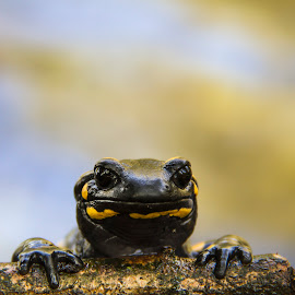 Close encounters by Davide Biagi - Animals Amphibians ( salamander, macro, wildlife, amphibians )