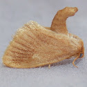 Early Button Slug Moth