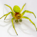 Cucumber Spiders